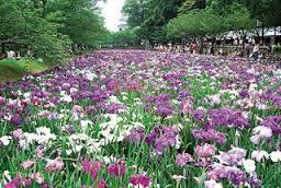 大村公園菖蒲.jpg